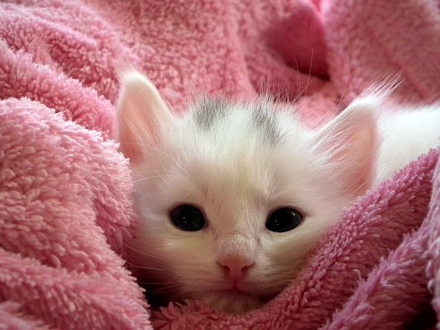 bílé kotě v dece