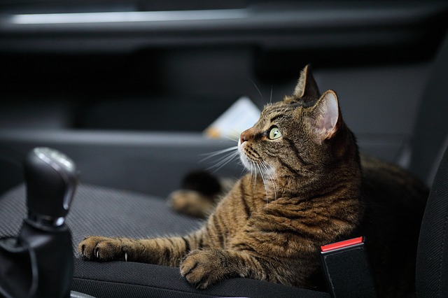 kočka v autě