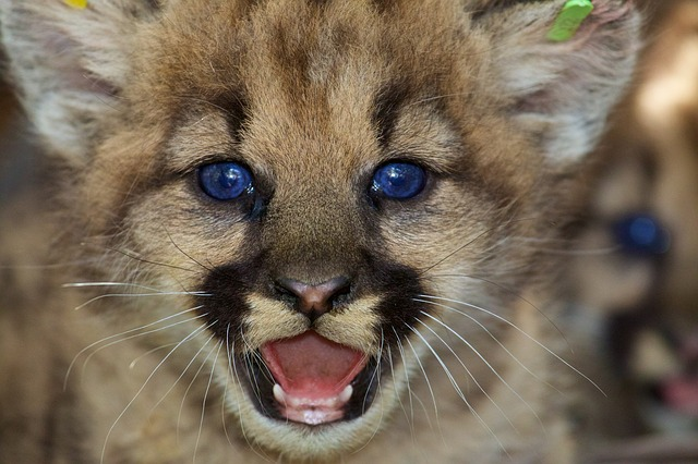 modrooké lvíče